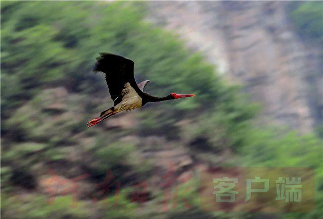 """4月23日,一只黑色的大鸟伸开长长的双翼,在黄河小浪底宽阔的水面上划开一道优美的波痕,缓缓飞向远方的湿地深处。""""这就是有'鸟中大熊猫'之称的珍稀飞禽黑鹳,2015年以来在济源多次发现。""""济源市林业局野生动植物保护科一位工作人员告诉记者。"""