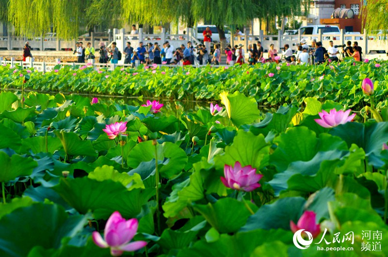"""盈盈一水间,碧荷绕莲城。近日,在""""莲城""""许昌,市区河湖水系内的荷花竞相开放,如诗如画,构成了一幅天然的美丽画卷,吸引众多游客赏花流连。(尚明桢 吴红军 摄)"""