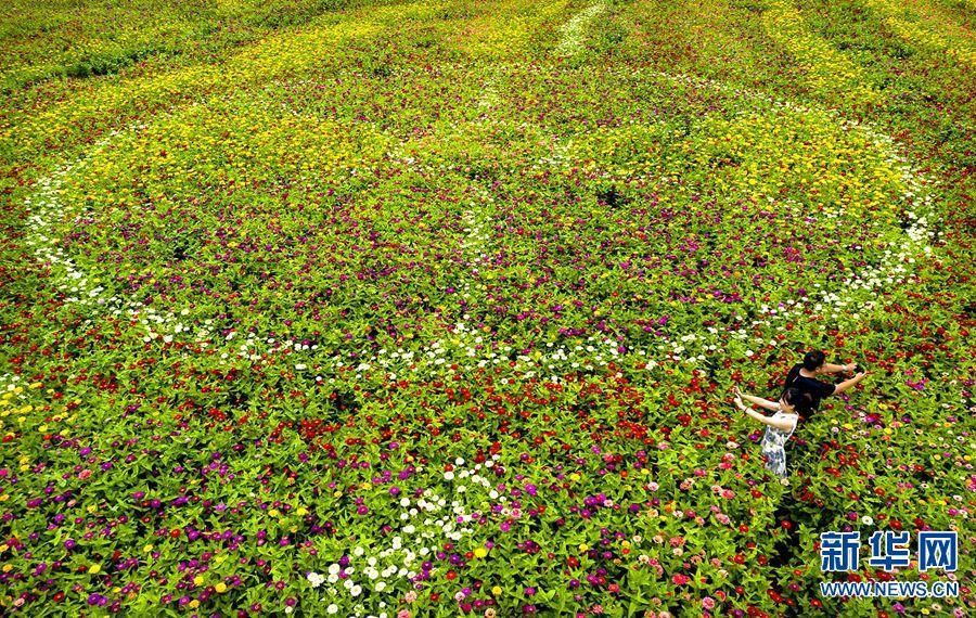 """日前,栾川县秋扒乡小河村,百日菊竞相绽放,吸引不少游客前来,在盛开的花海中徜徉,用手机拍下美丽的鲜花。 据了解,今年5月份,秋扒乡为丰富乡村旅游多元化,在小河村种植百日菊。近日,随着百日菊盛开,一幅""""花满人间""""的美丽画卷正徐徐展开,引来了不少游客驻足观赏。新华网发(高山岳摄)"""
