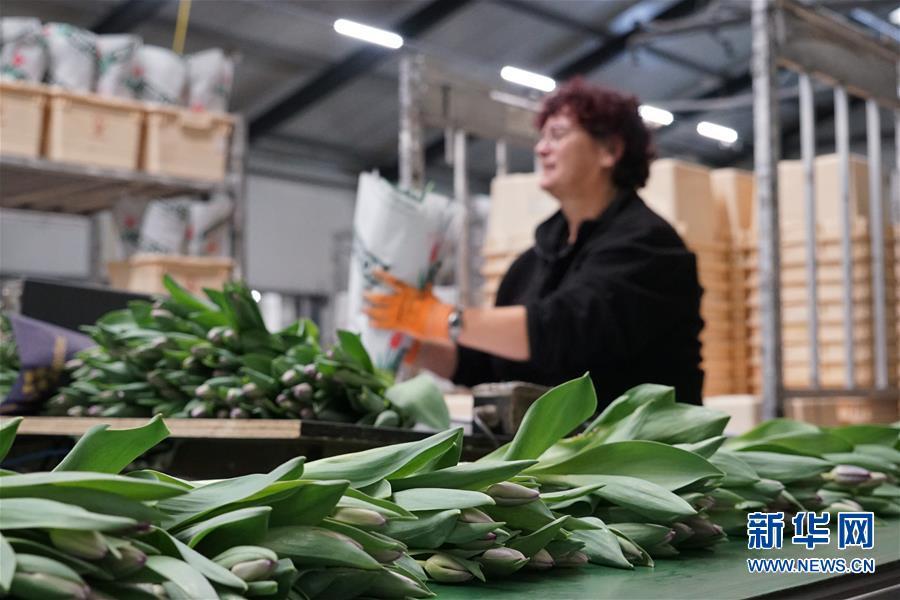 荷兰郁金香绽放中国牡丹之乡 在荷兰特里弗洛尔农场,花农在包装郁金香鲜花(11月4日摄)。  新华社记者林立平摄