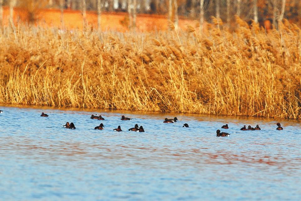 青头潜鸭与白眼潜鸭在一起。记者1月4日从南阳白河国家湿地公园获悉,世界极危鸟类青头潜鸭近日在此现身,令监测人员和专家惊喜不已。这也意味着,青头潜鸭在我省的活动范围再次扩大。白河国家湿地公园管理处生态监测科工作人员介绍,2019年12月30日,南阳师范学院教授梁子安最先在湿地公园内发现了疑似青头潜鸭。第二天,在同一地方,他们共拍摄到7只青头潜鸭。(张继伟 摄)
