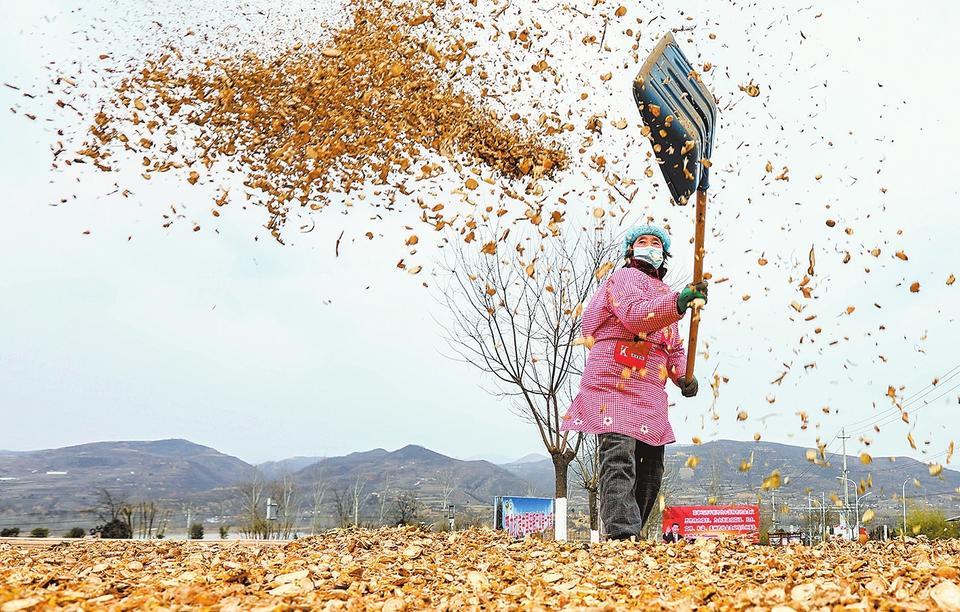 1月4日,在卢氏县范里镇范里村,工人正在翻晒切片后的苦参。据悉,当地群众因地制宜发展苦参、黄芩等中药材种植,走上致富之路。聂金锋 摄