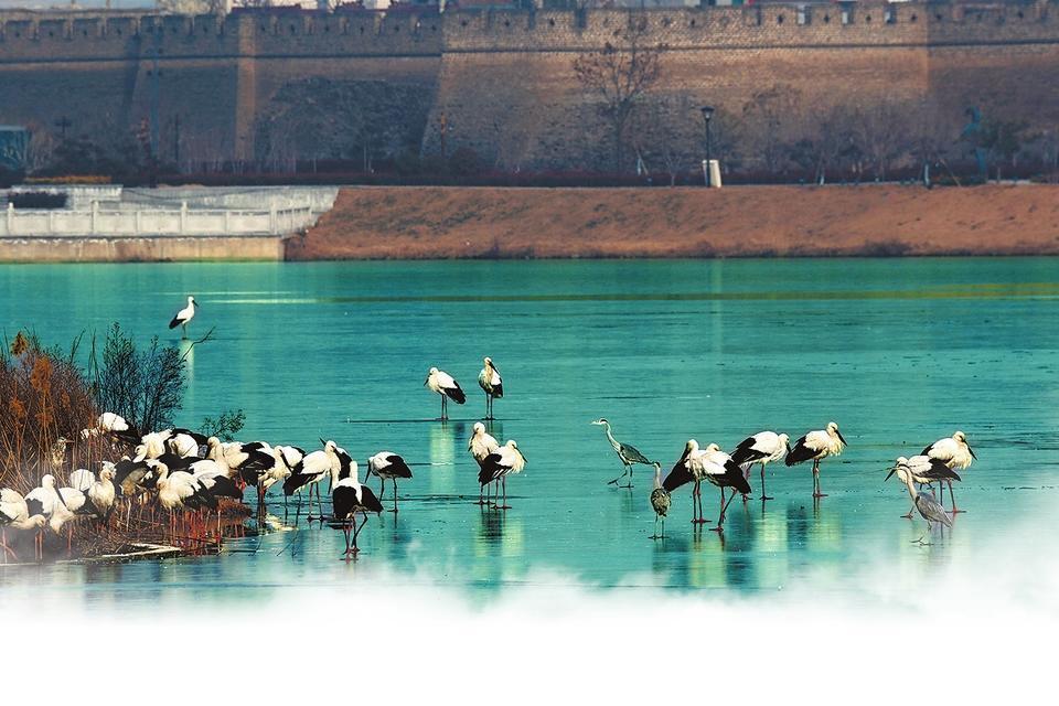 """东方白鹳""""做客""""南湖,给商丘人留下这个冬天最美的记忆。卢瑶 摄"""