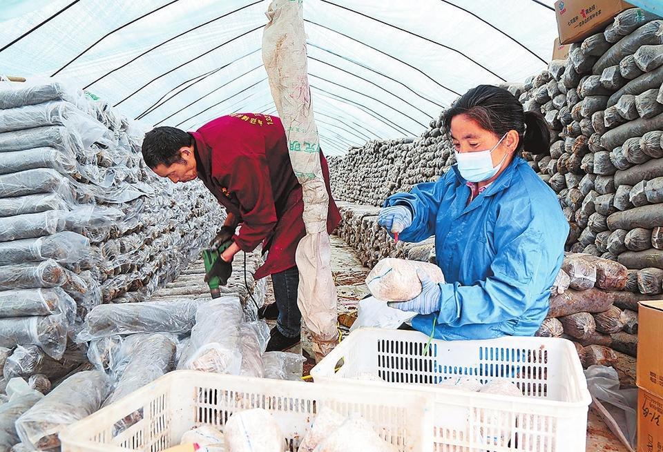 2月15日,汝阳县十八盘乡十八盘村下寺组的菇农在搬运袋料香菇,及时消毒灭菌。新春佳节,当地菇农过节不忘香菇生产,为增产增收打下良好基础。康红军 摄