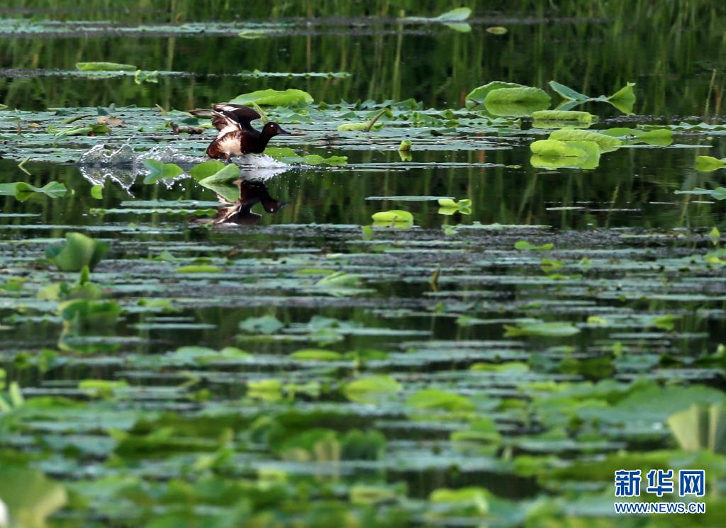 近年来,河南省民权县积极推进黄河故道湿地修复工作,同时不断加强对野生动物的保护,为野生鸟类营造适宜的生存环境。目前,民权县黄河故道国家湿地公园已监测到濒危物种青头潜鸭200多只。  图为:青头潜鸭在民权县黄河故道国家湿地公园飞翔。(李嘉南  摄)